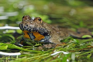 Portrait einer Gelbbauchunke (Bombina variegata) mit herzförmigen Pupillen - Yellow-bellied toad