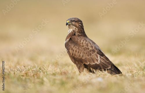 Common buzzard (Buteo buteo) Wallpaper Mural