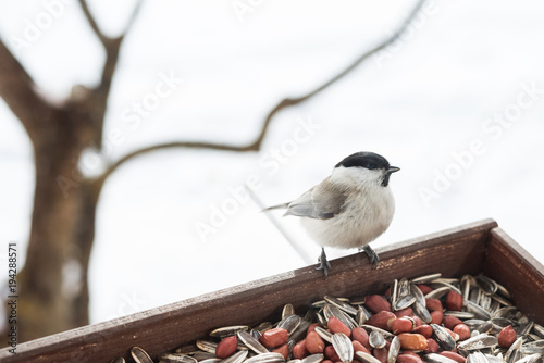 Fototapeta premium Feeding wild birds