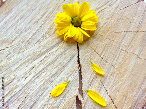 Close up yellow chrysanthemums on wooden background. Poster