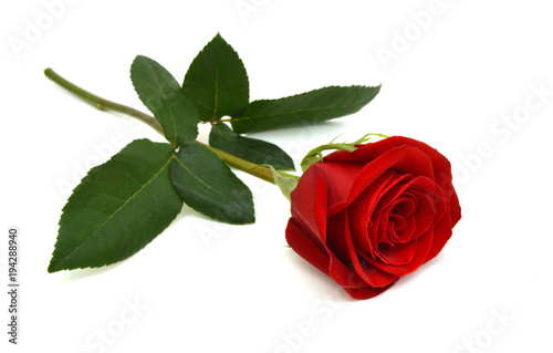 Single beautiful red rose isolated on white background © ImagesMy