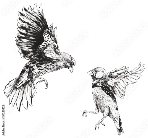 Photo Darwin Finches Flying Fighting Hand Drawn
