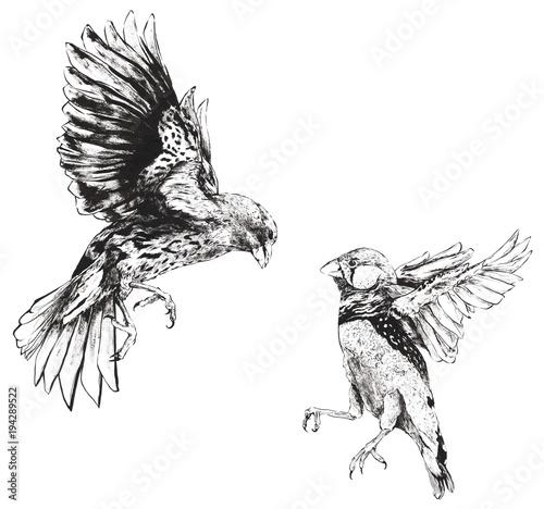 Fotografija Darwin Finches Flying Fighting Hand Drawn