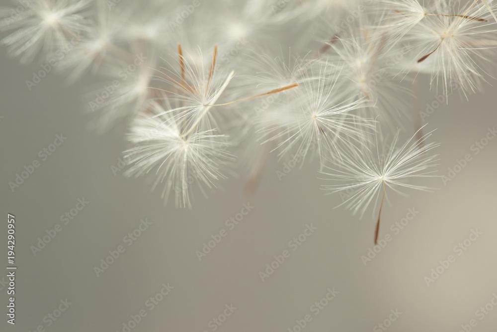 Fototapety, obrazy: Flying parachutes from dandelion