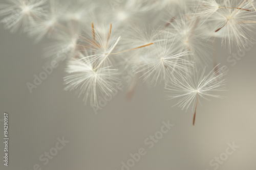 Fotobehang Paardenbloem Flying parachutes from dandelion