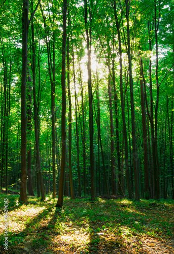 Papiers peints Forets forest trees. nature green wood sunlight backgrounds.