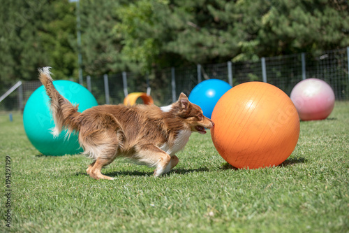 border collie macht mit grossem orangenem treibball sport Canvas Print