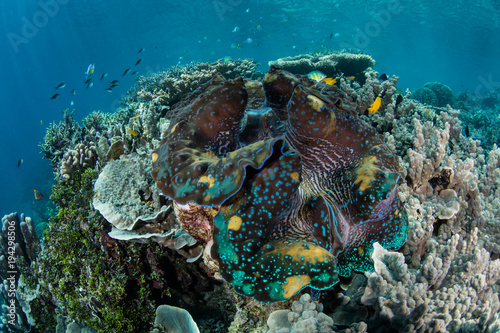 Colorful Giant Clam on Coral Reef in Raja Ampat #194298506