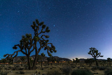 Joshua Trees At Night With Cle...
