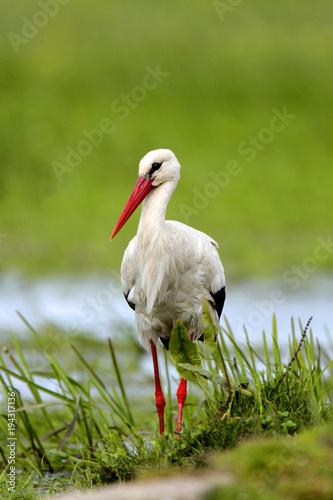 Naklejki Bocian  single-white-stork-bird-on-a-grassy-meadow-during-the-spring-nesting-period