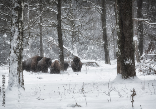 Aluminium Prints Bison bisons in a snow-covered winter forest