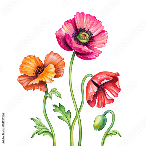 Foto  botanical watercolor illustration, red poppies bouquet, assorted rustic poppy fl