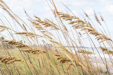 FototapetaTall Green Grass on the Ocean Dunes