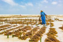 Woman Working In Sea Weed Plan...