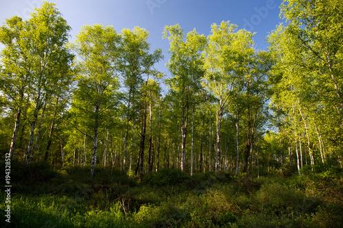 Birkenwald im Federseeried