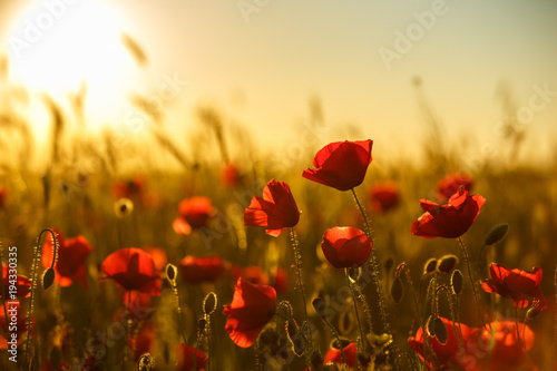 Poster Klaprozen poppies at sunset, poppy field
