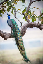 Peacock In A Tree In Kanha Nat...