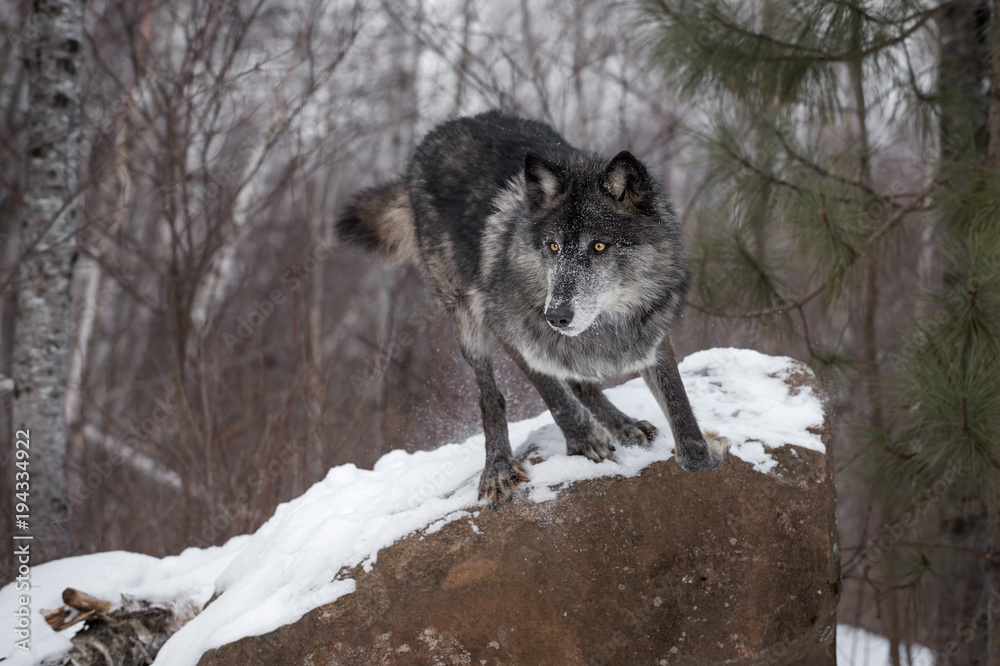 Black Phase Grey Wolf (Canis lupus) Leaps Off Rock