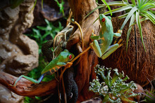 Red-eyed Frogs In The Terrarium
