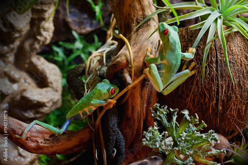 Red-eyed frogs in the terrarium Poster Mural XXL