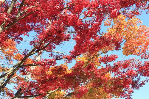 Keuken foto achterwand Rood paars Momijis in Takao park near Tokyo Japan