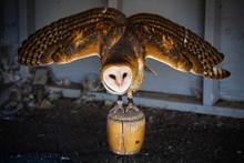 Barn Owl Spreading Its Wings T...