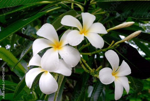 Keuken foto achterwand Frangipani White plumeria flower on the tree .