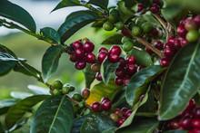 Reife Kaffeekirschen Am Baum F...