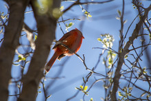 Red Bird In Trees Early Spring