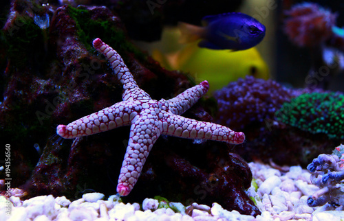 Indian Sea Star (Fromia indica) Wallpaper Mural