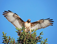 Red Tail Hawk Stretching Its W...