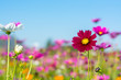 canvas print picture cosmos flower field with blue sky background