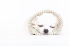 眠いチワワ