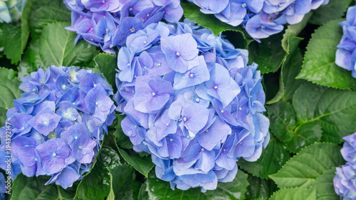 Blue hydrangea flower in a garden.