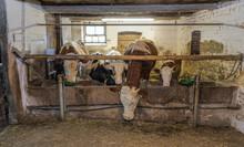 Fütterung Im Kuhstall Histori...