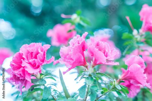 Papiers peints Azalea blooming pink azalea, toned, soft focus. Flower background
