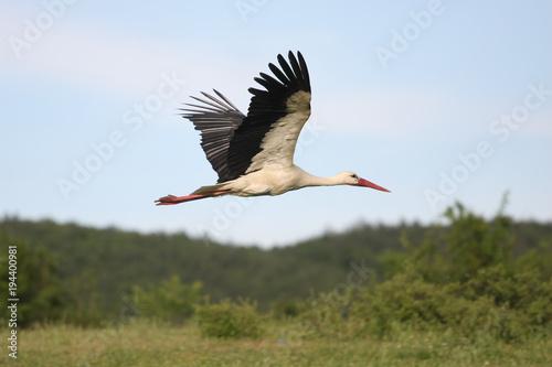 Obraz na płótnie A Stork in Flight