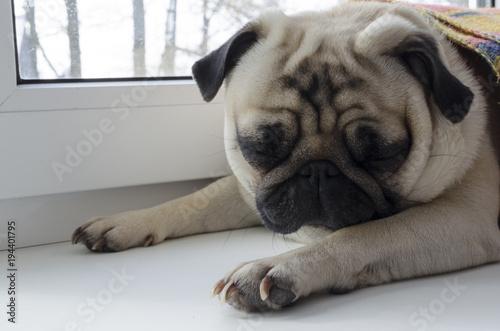 Deurstickers Franse bulldog dog breed pug laying at window-sill