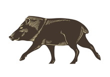 Collared Peccary Vector. Wild Boar Sketch Illustration. Hand Drawn Pig Isolated.