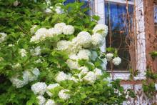 Blossoming Bush Of A Viburnum ...