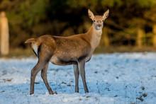 Deer, Animal, Wildlife, Nature