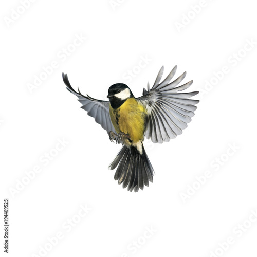 Poster Vogel portrait of a little bird tit flying wide spread wings and flushing feathers on white isolated background