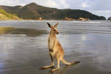 Wallaby On The Beach At Cape Hillsborough, Australia