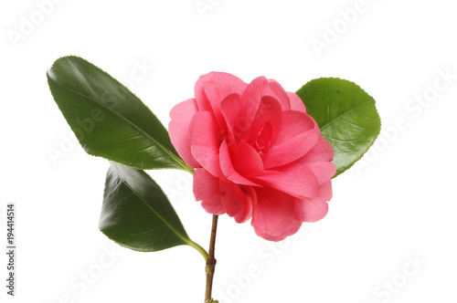 Fotografia Red camellia flower and foliage