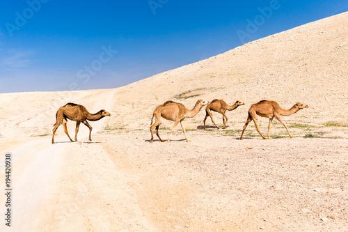 Four camels caravan crossing desert road pasturing, Dead sea, Israel.