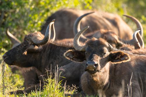 Staande foto Buffel Bufalo