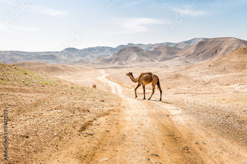 Two camels crossing desert road pasturing, Dead sea, Israel.