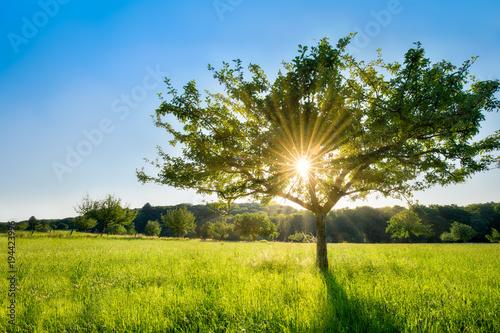 Foto op Plexiglas Weide, Moeras Einzelner Baum im Sonnenlicht auf einer grünen Wiese