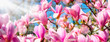 Rosa Magnolien in voller Blüte im Frühling