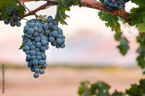 Bunch of ripe Syrah grapes on vine at sunset